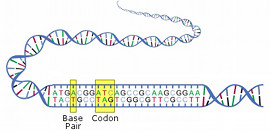 DNA_diagram