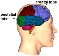 Occipital and frontal lobes
