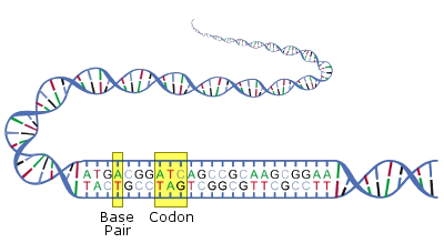 Illustration of DNA base pairs and codons