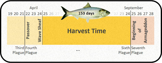 Harvest time of 153 days